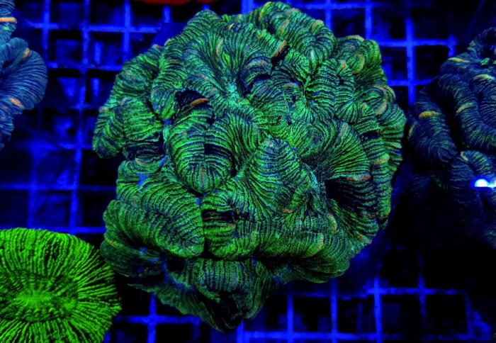 Trachyphyllia spp. (West Australia Greenish)