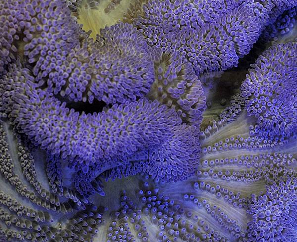 Stichodactyla spp. (Purple)
